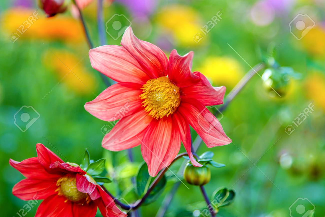 Image Flower Red Dahlia With Yellow Center Stock Photo Picture And