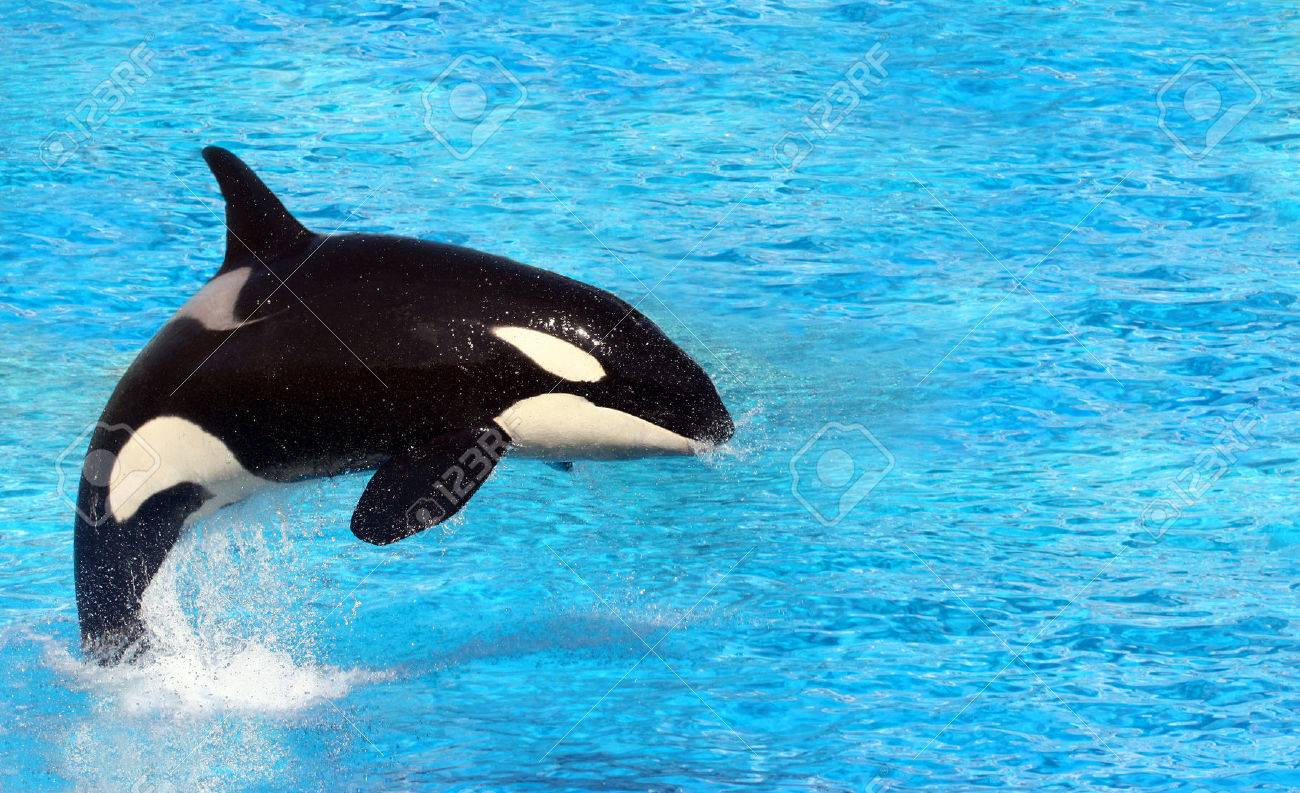 big killer whale jumping on water stock photo picture and royalty