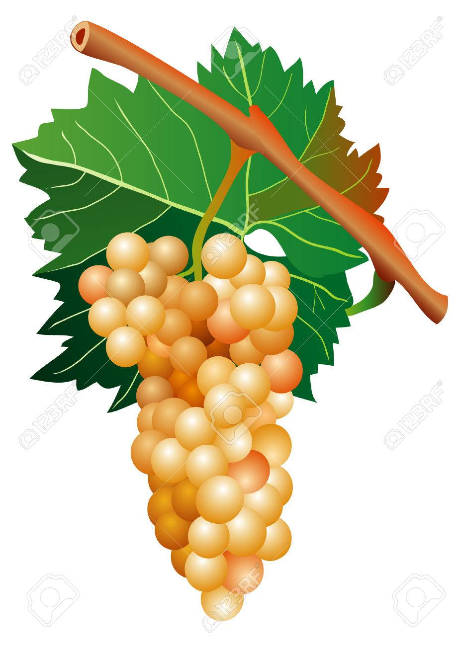 vector illustration of mellow white grape cluster Stock Vector - 5634615