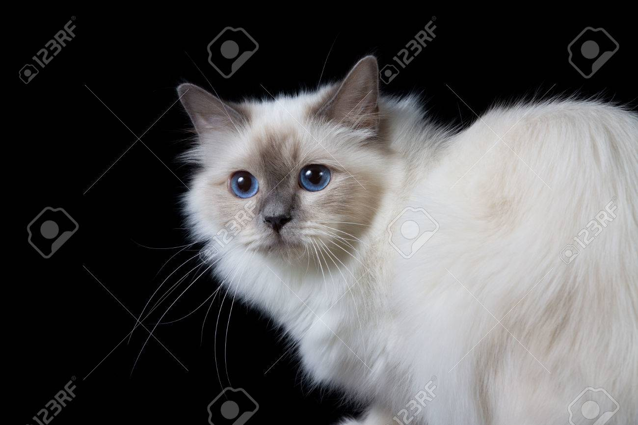 Gray White Longhair Cat With Blue Eyes Stock Photo Picture And Royalty Free Image Image 46272910