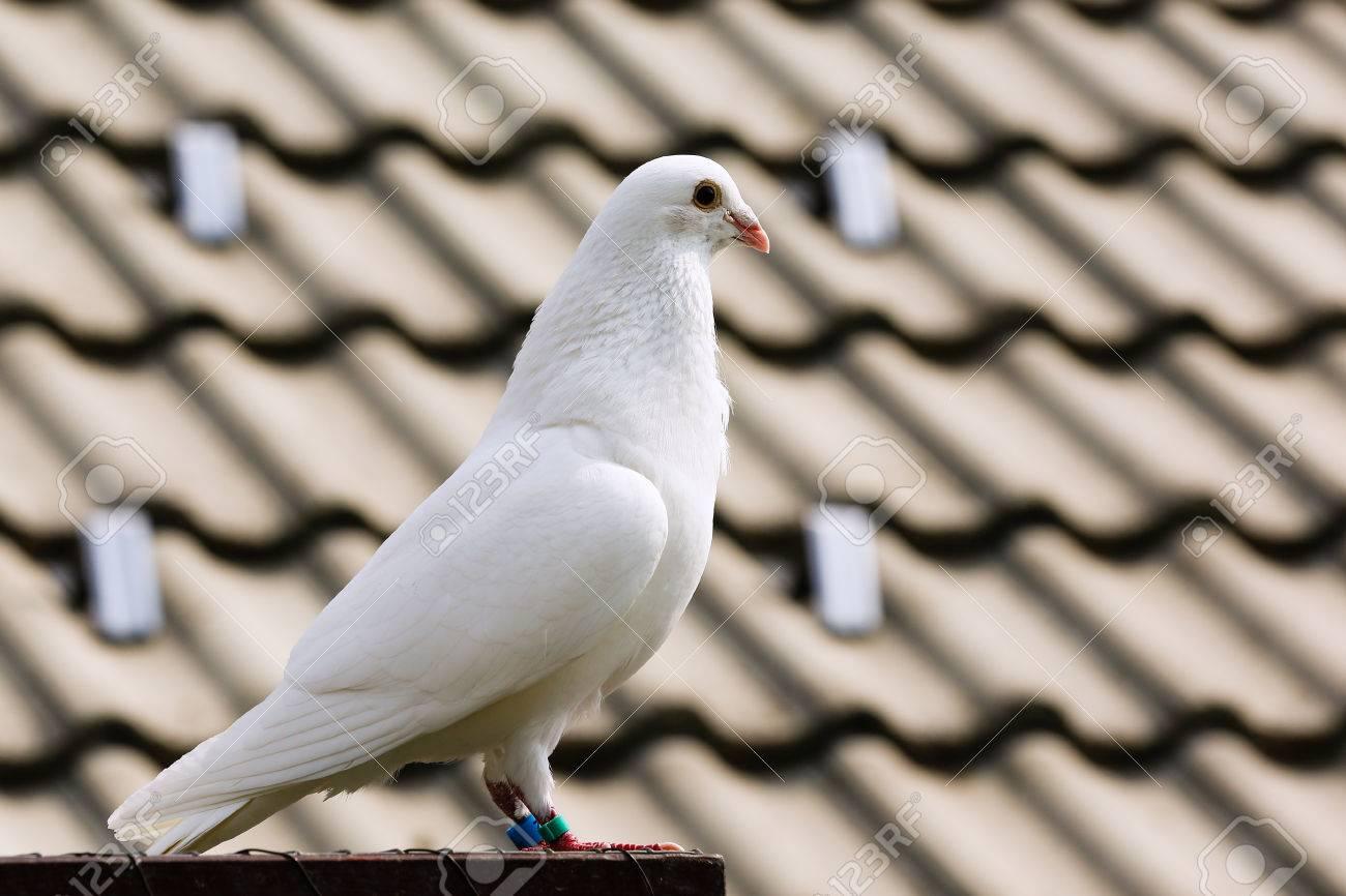 Dove Animal Symbolism The Best Dove 2017
