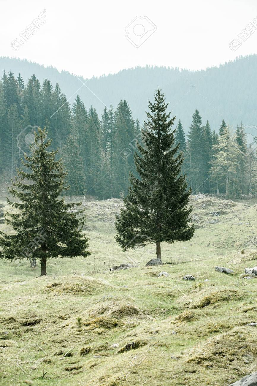 Lone Trees On Alpine Pasture With Healthy Coniferous Forest Of