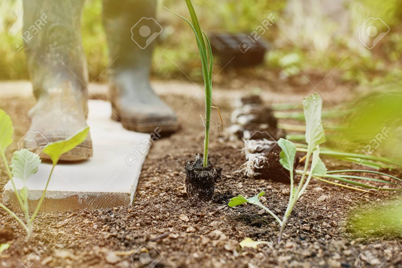 semis de poireaux reposant sur un lit de jardin frachement labour prpar pour planter avec jardinier en arrire plan dans le soleil du matin - Lit De Jardin