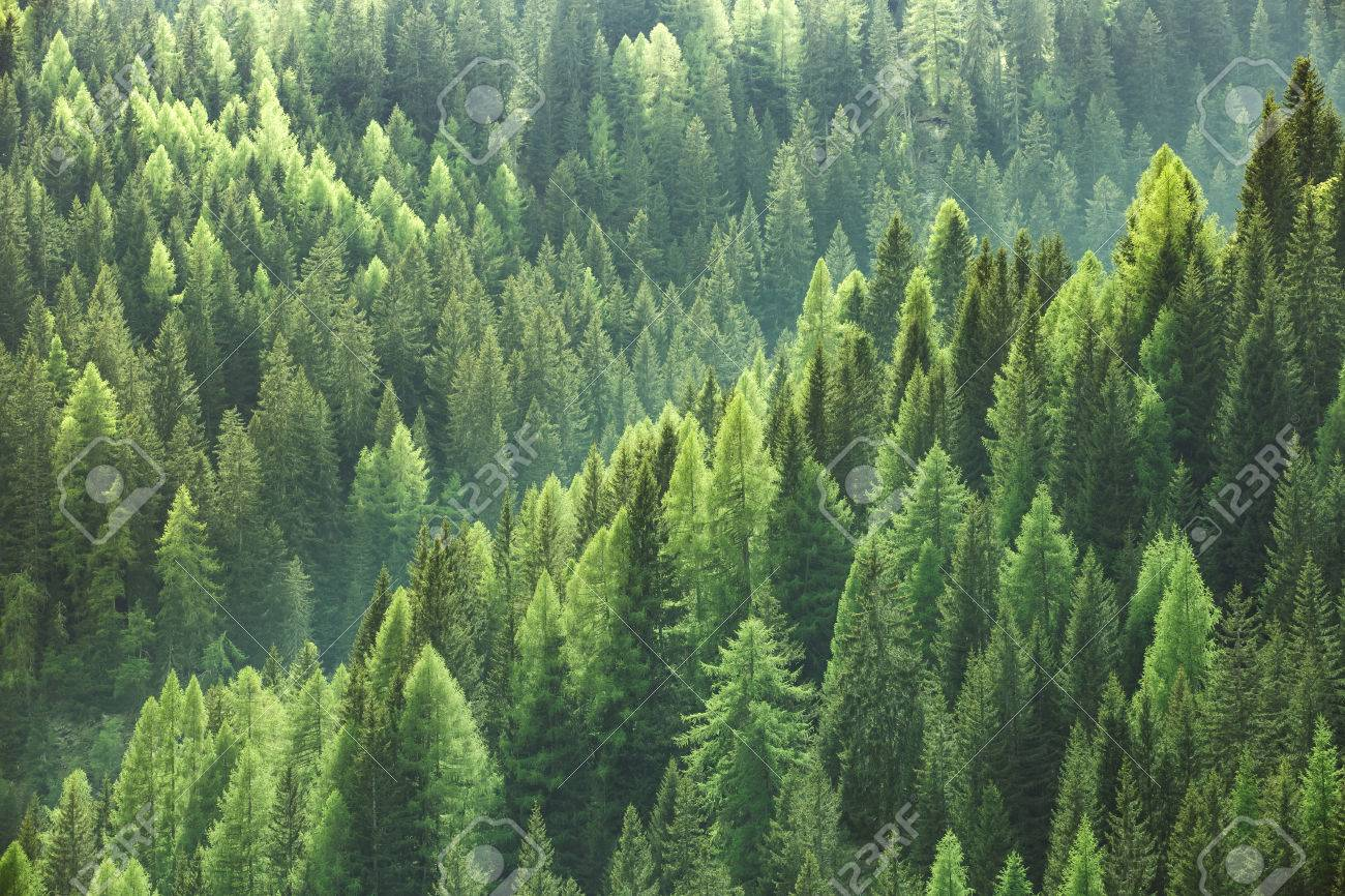 Healthy green trees in a forest of old spruce, fir and pine trees in wilderness of a national park. Sustainable industry, ecosystem and healthy environment concepts and background. - 60687703