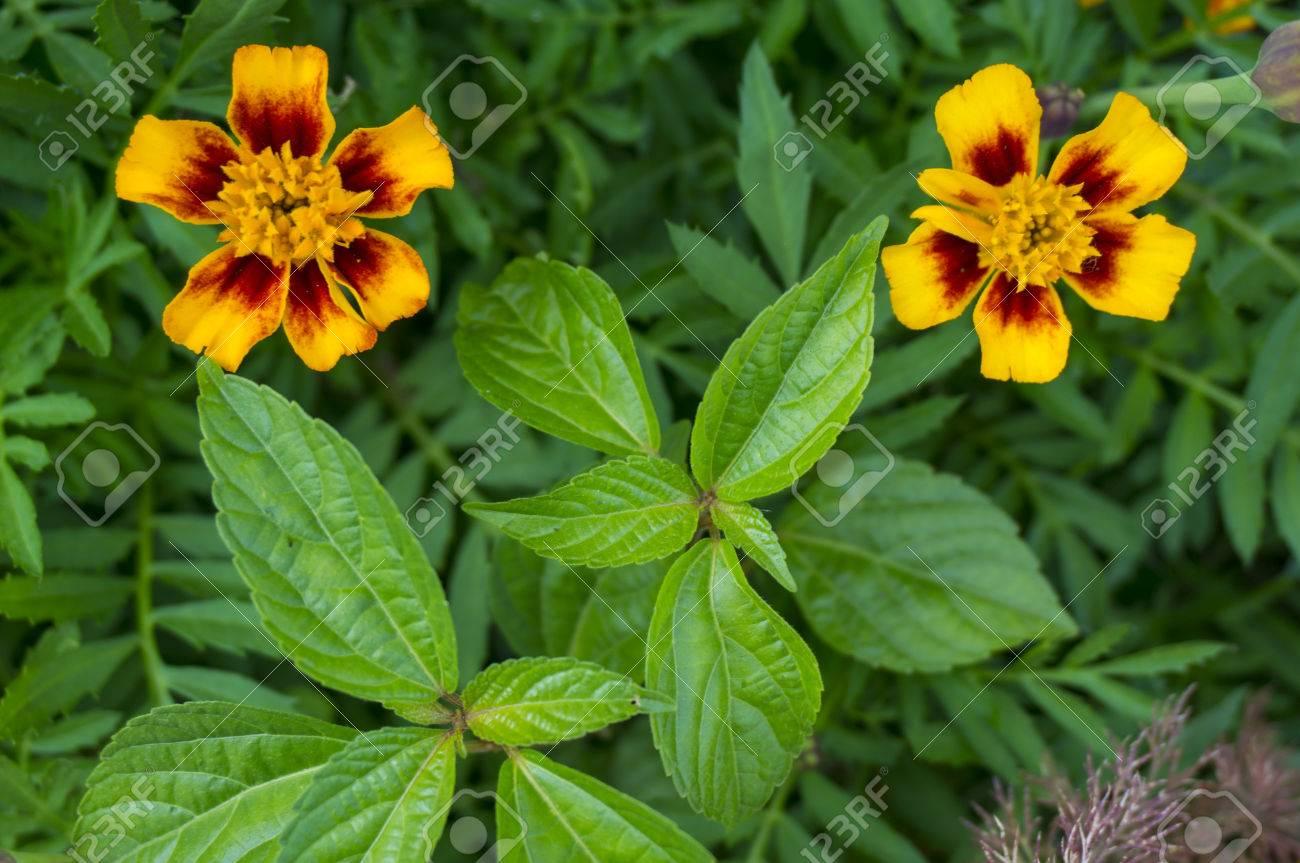 Zinnia flower vermilion yellow red aster flowering plant stock zinnia flower vermilion yellow red aster flowering plant asteraceae flowers family mightylinksfo