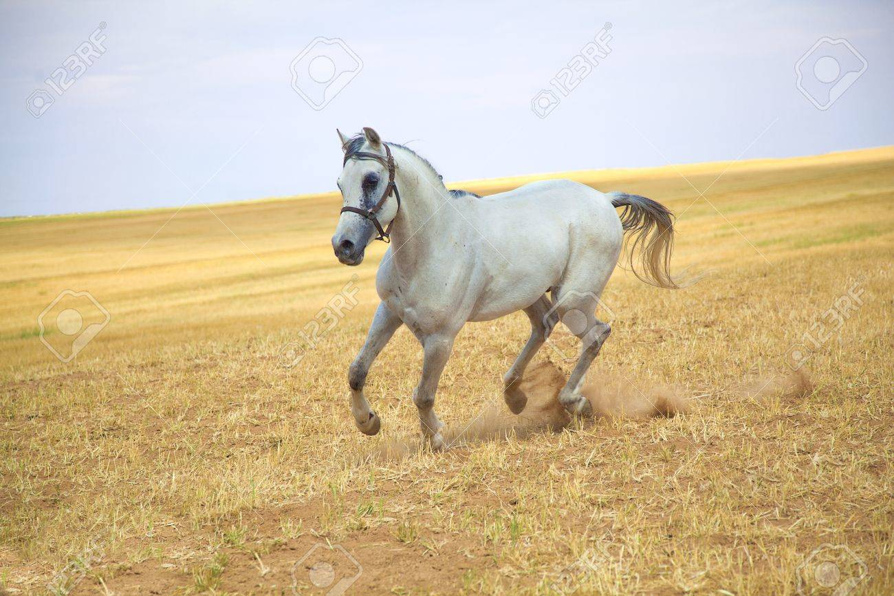 Arabian Horse Gallops In A Golden Field Stock Photo Picture And Royalty Free Image Image 10679135