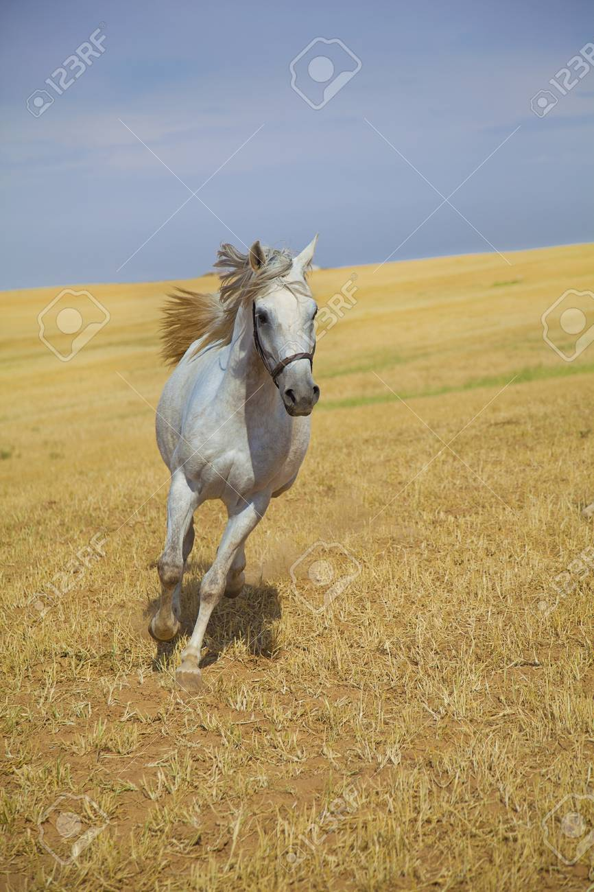 Arabian Horse Galloping Towards Camera In A Golden Field Stock Photo Picture And Royalty Free Image Image 10679136