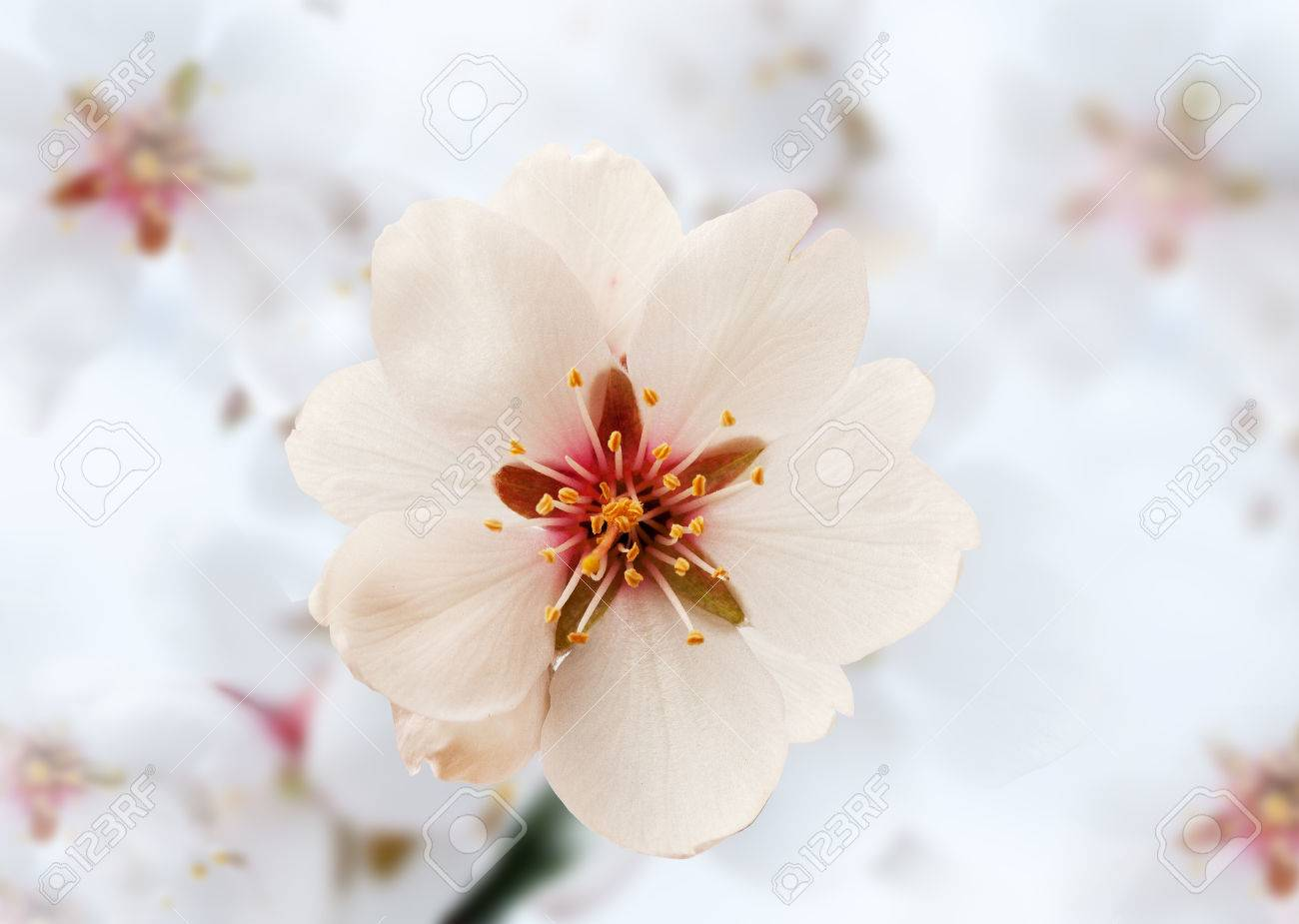 Almond blossom in spring in the orchard Stock Photo - 57796150