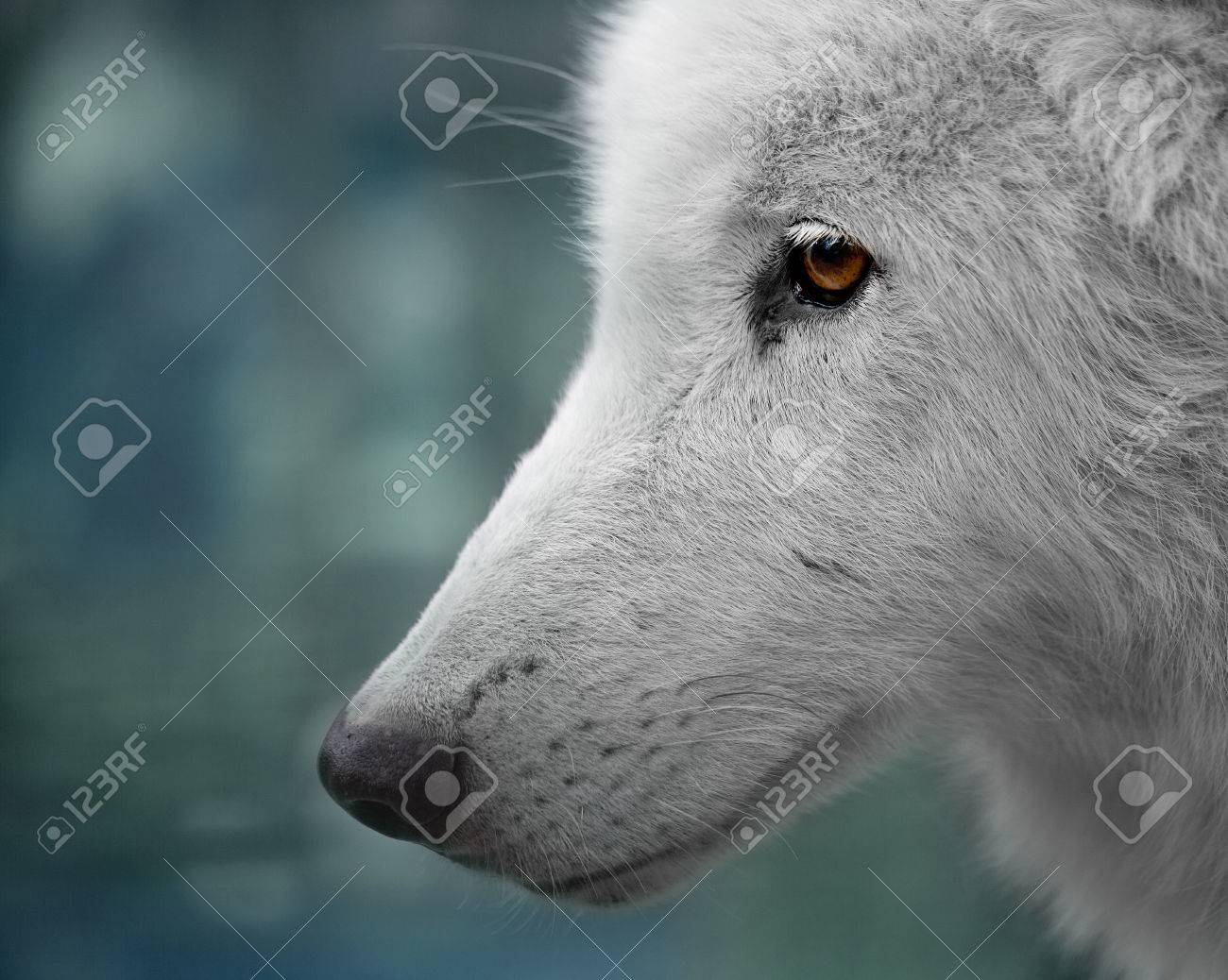 Portrait of a white Arctic wolf head Stock Photo - 82873265