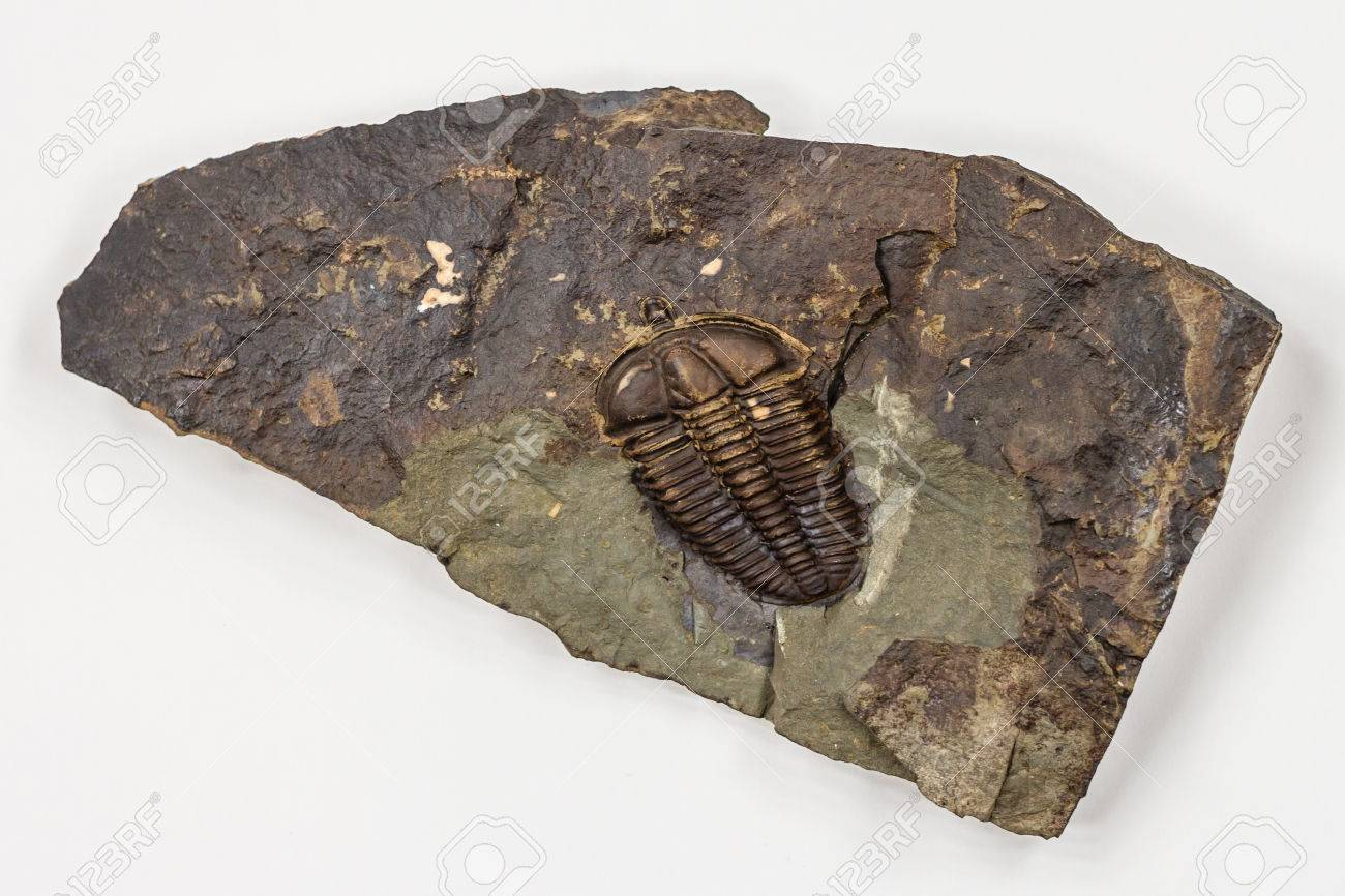 The Detail of Big Brown Isolated Trilobite with White Background - 43783949