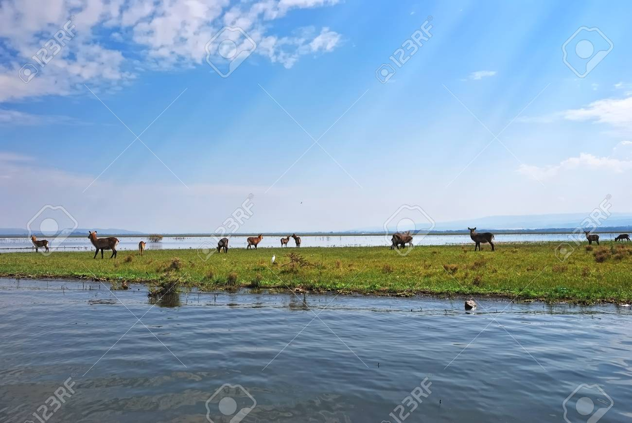 Females Waterbuck antelopes on the Naivasha Lake Island, Kenya Stock Photo - 13886498