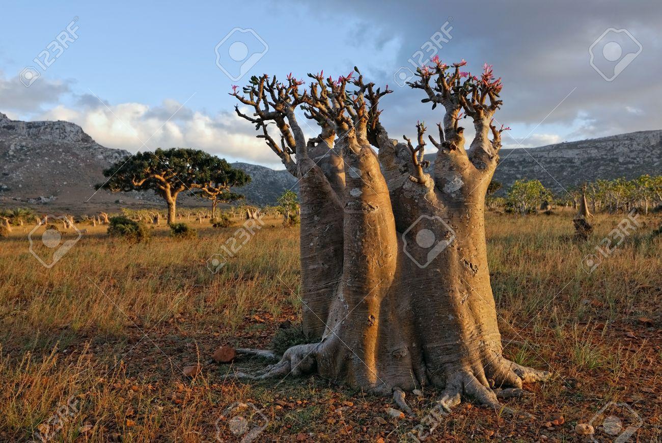 Bottle tree - endemic tree of Socotra Island Stock Photo - 13943811
