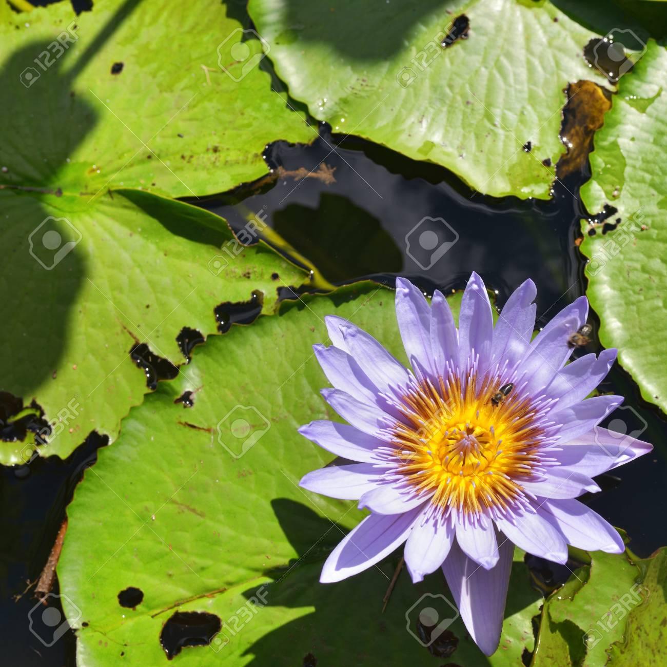 Lotus flower closeup mauritius island africa pamplemousses stock lotus flower closeup mauritius island africa pamplemousses garden stock photo 20408523 mightylinksfo