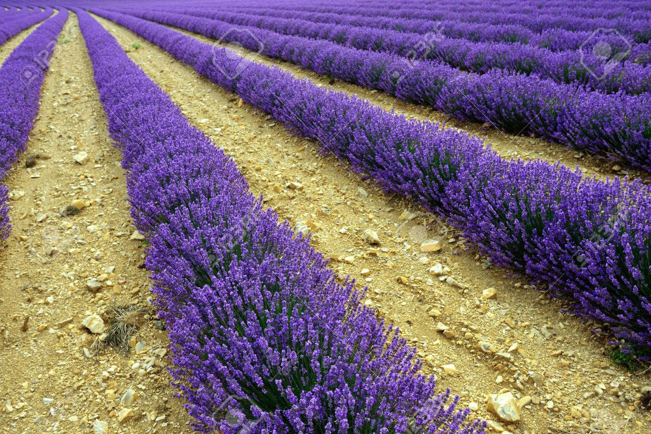 30407388-Stunning-landscape-with-lavender-field-at-evening-Plateau-of-Sault-Provence-France-Stock-Photo.jpg