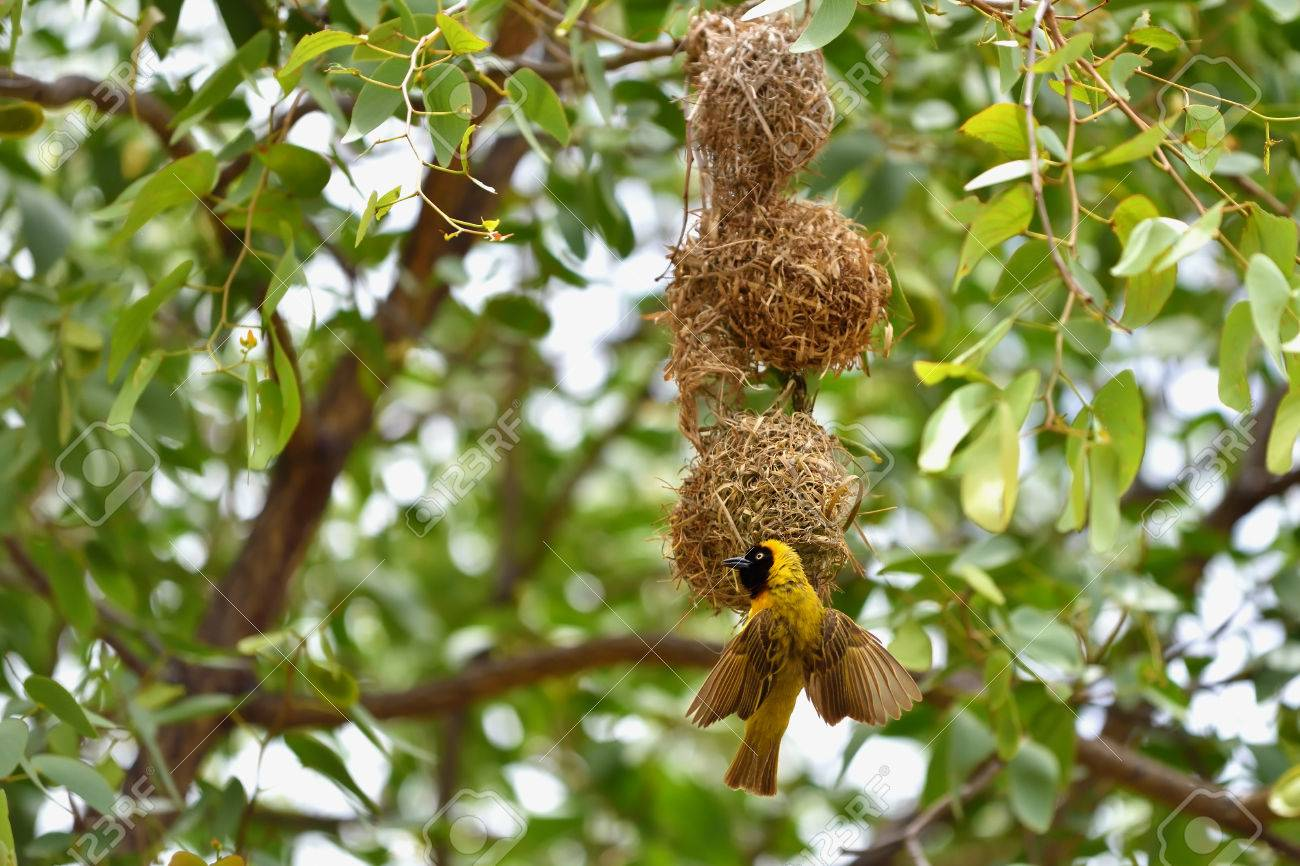 Southern Yellow Masked Weaver Bird Building A Nest Namibia