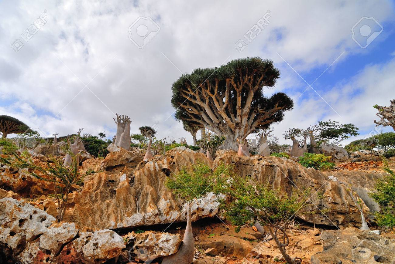 endemic plants dragon blood tree and flowering bottle trees adenium obesum on the island socotra