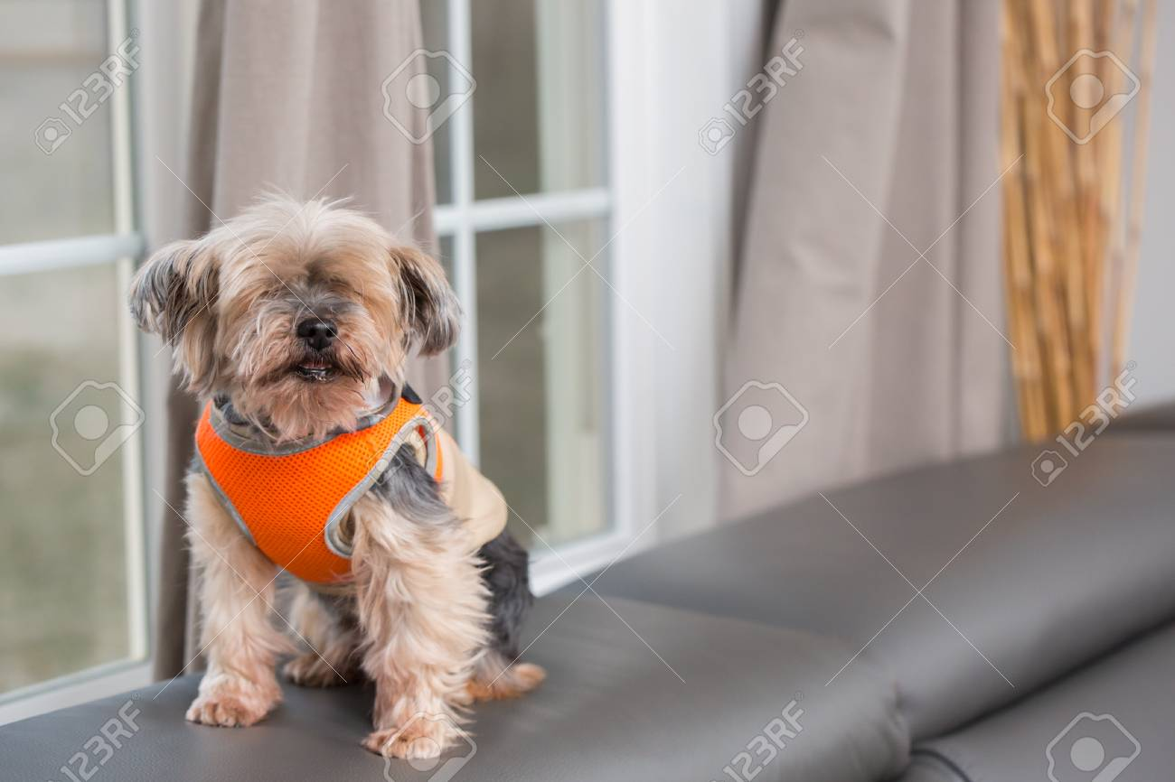 portrait of Yorkshire Terrier trained to sit - 120352039