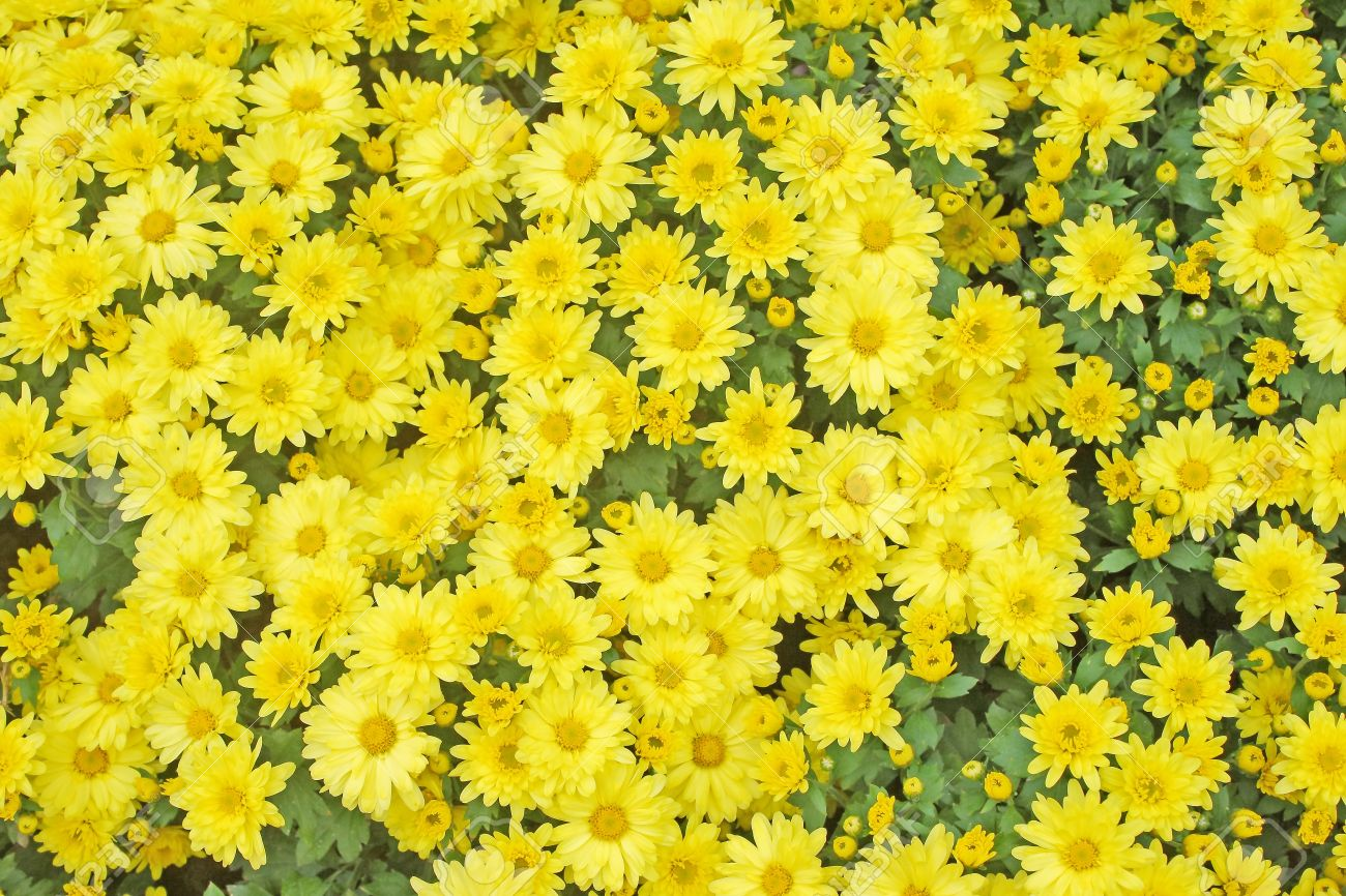 Yellow Flower Texture Stock Photo Picture And Royalty Free Image