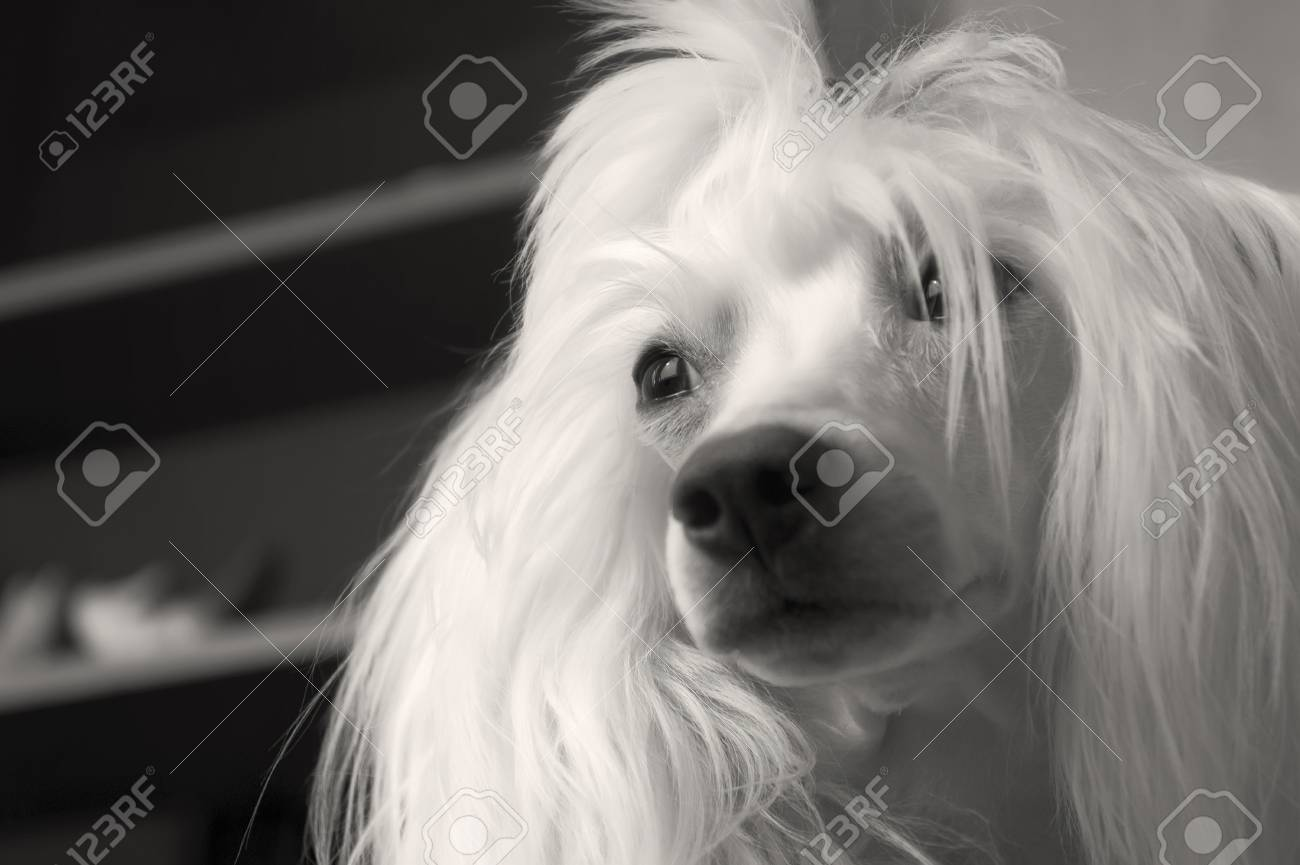 Chinese Crested Dog With Hair 5 Years Old Stock Photo Picture And