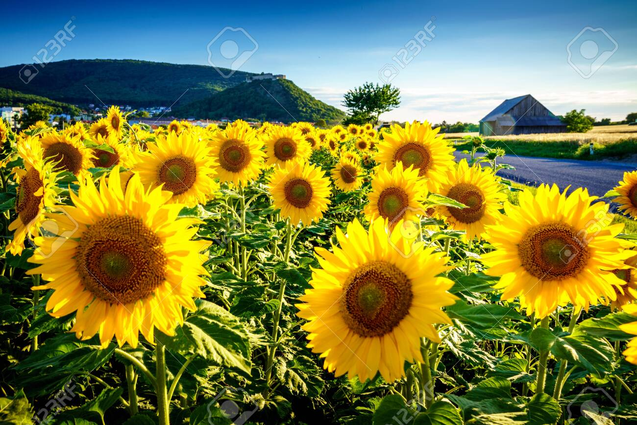 Sunflower under the Hainburg castle, Austria - 135785420