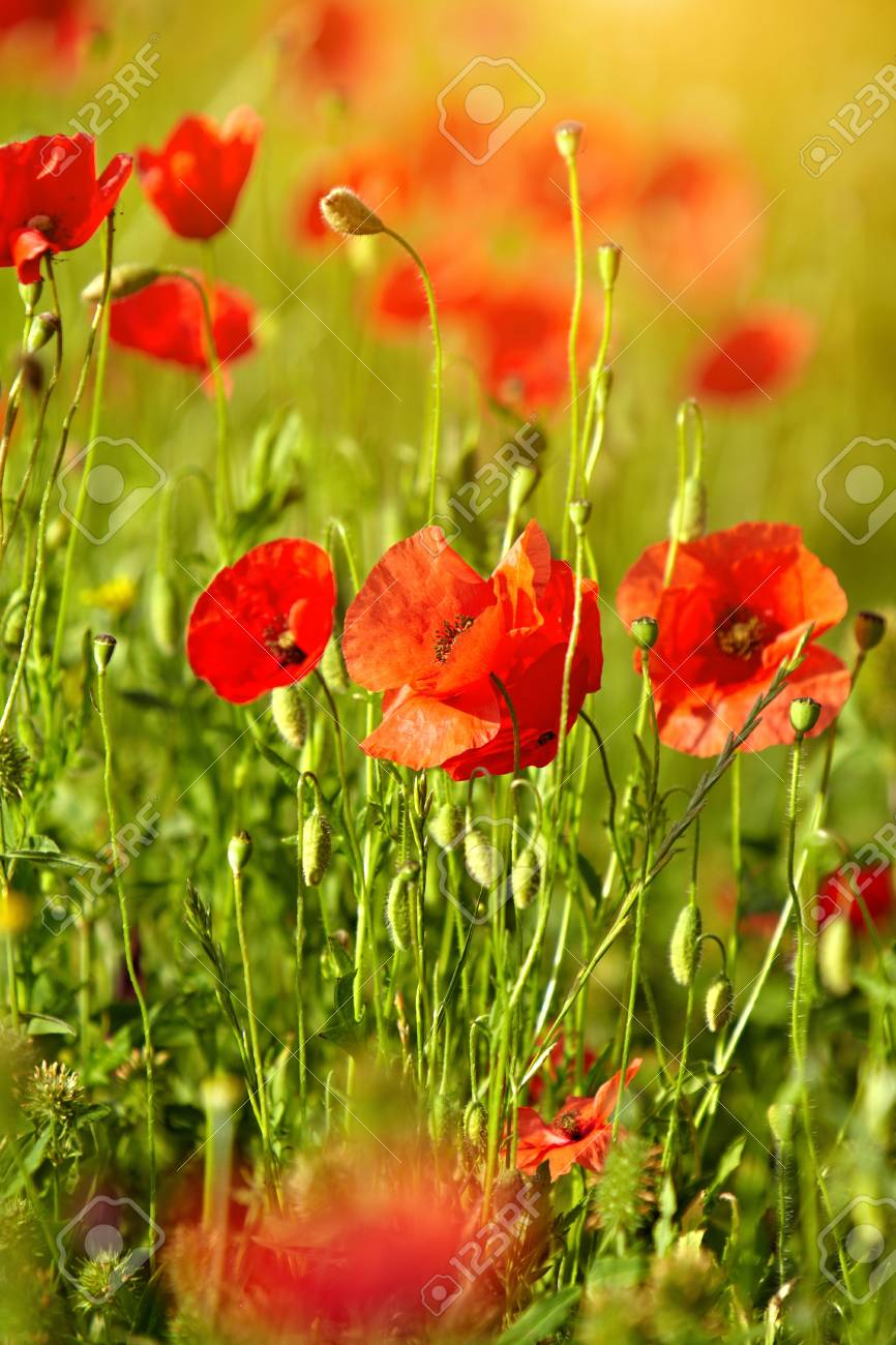 Field of poppies Stock Photo - 14875636