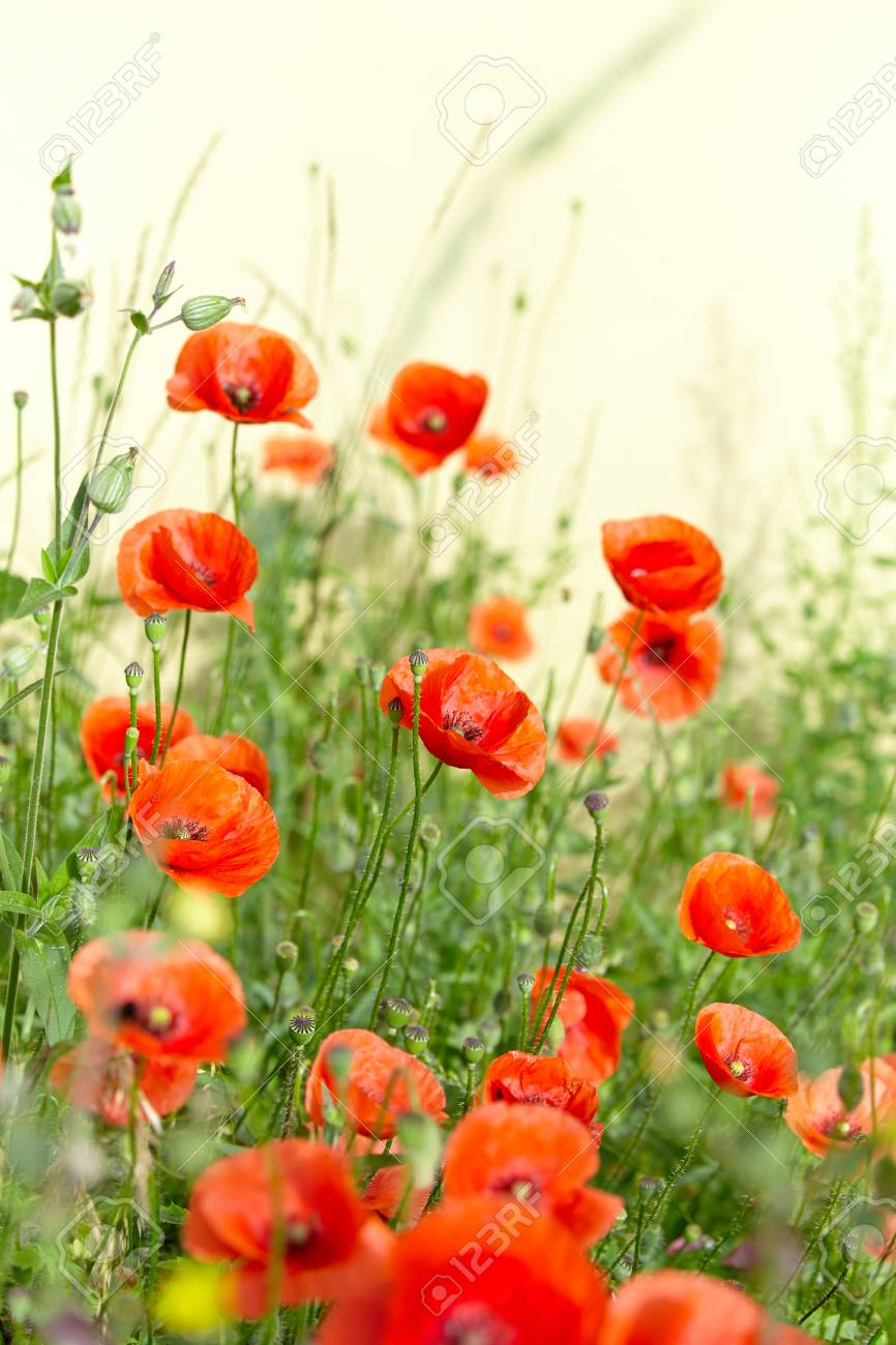 Field Of Poppy Flowers Papaver Rhoeas In Spring Stock Photo Picture