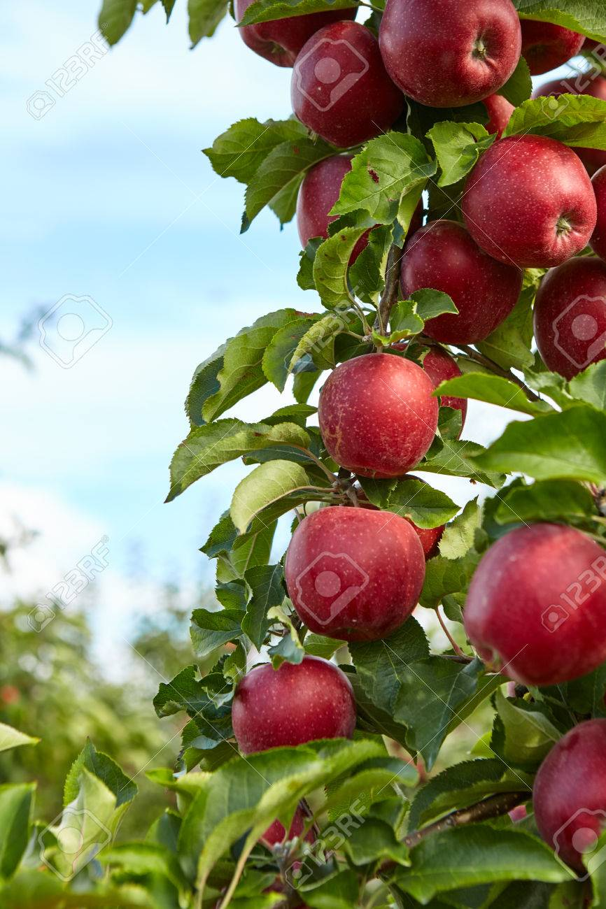 red apples on the trees in the orchard - 46106308