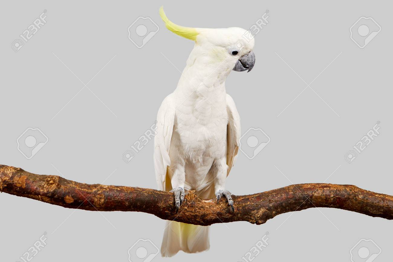 Sulphur-crested Cockatoo, Cacatua galerita perched in front of a white background. - 83216023