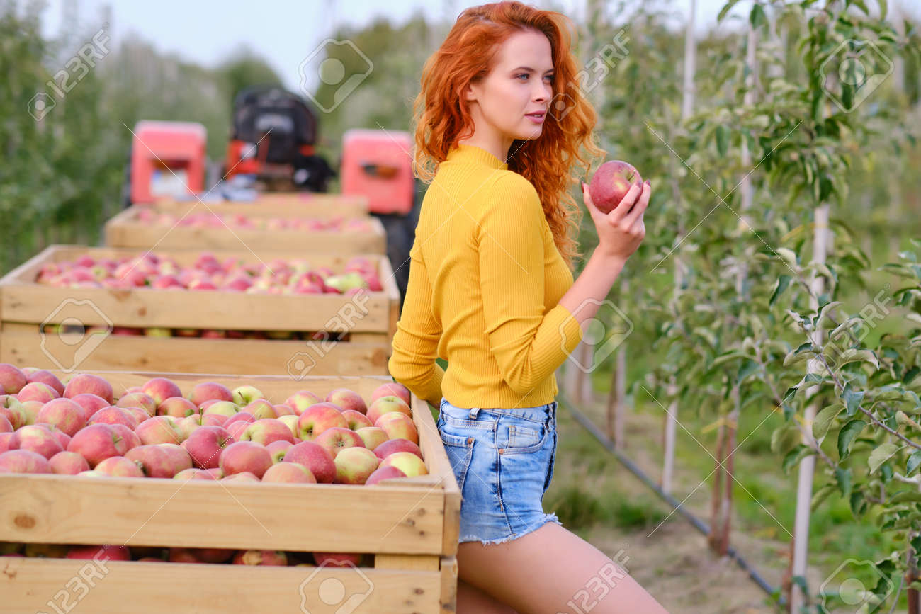 Young red haired woman picking ripe organic apples in wooden crate in orchard or on farm on a fall day - 163057244