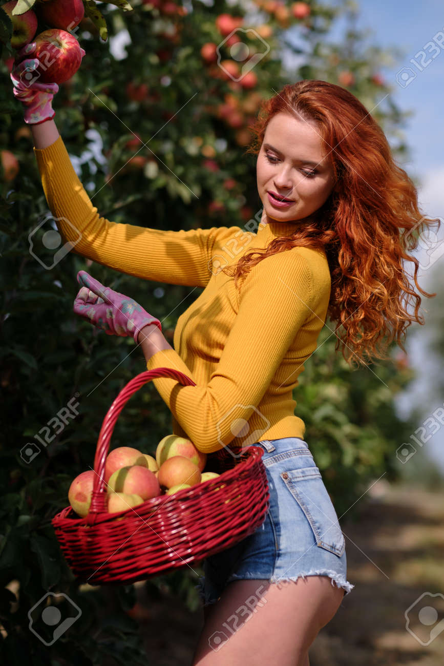 Young red haired woman picking ripe organic apples in wooden crate in orchard or on farm on a fall day - 163057248