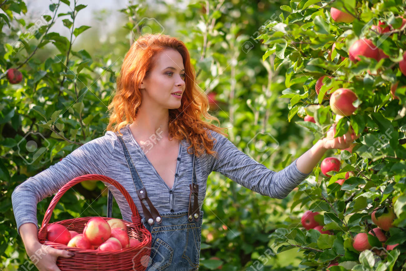 Young red haired woman picking ripe organic apples in wooden crate in orchard or on farm on a fall day - 163057253