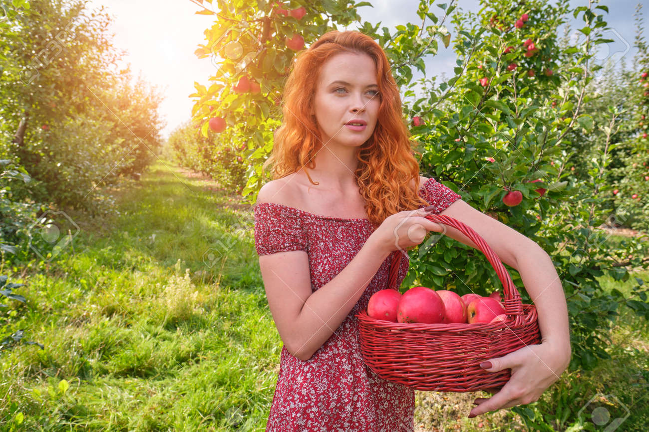Beautiful girl with red hair collects apples in a large apple orchard and puts in a basket. - 163303696