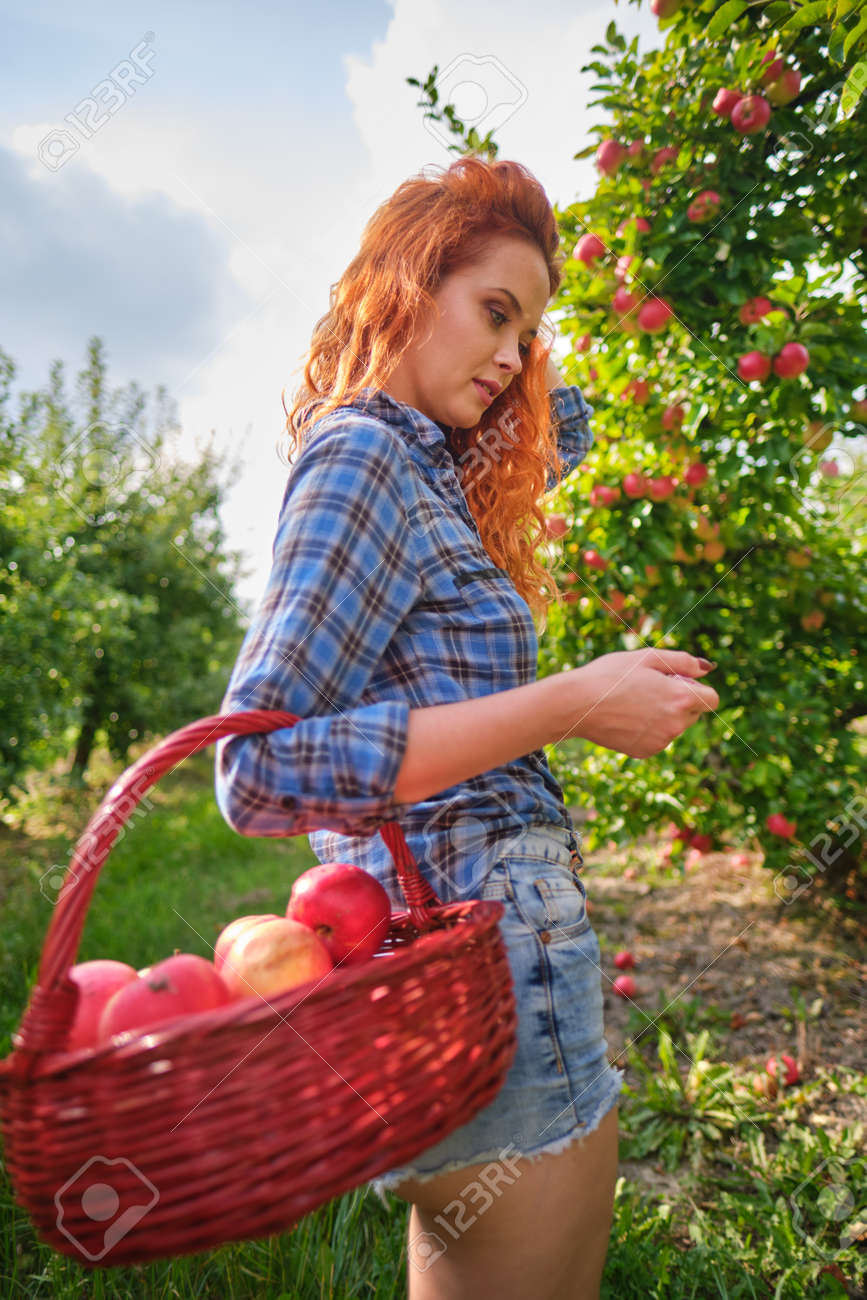 Beautiful girl with red hair collects apples in a large apple orchard and puts in a basket. - 163304405