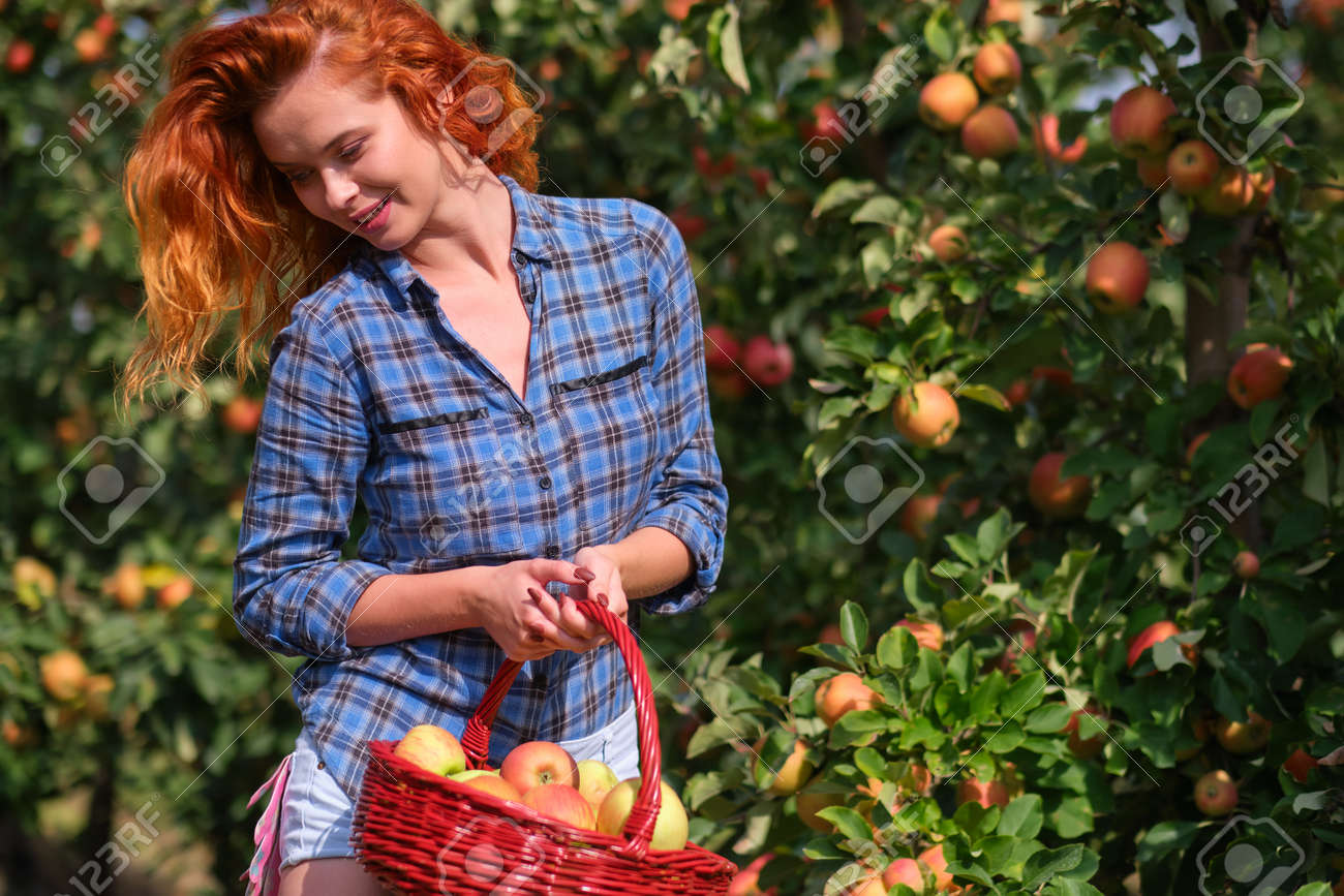 Beautiful girl with red hair collects apples in a large apple orchard and puts in a basket. - 163304498