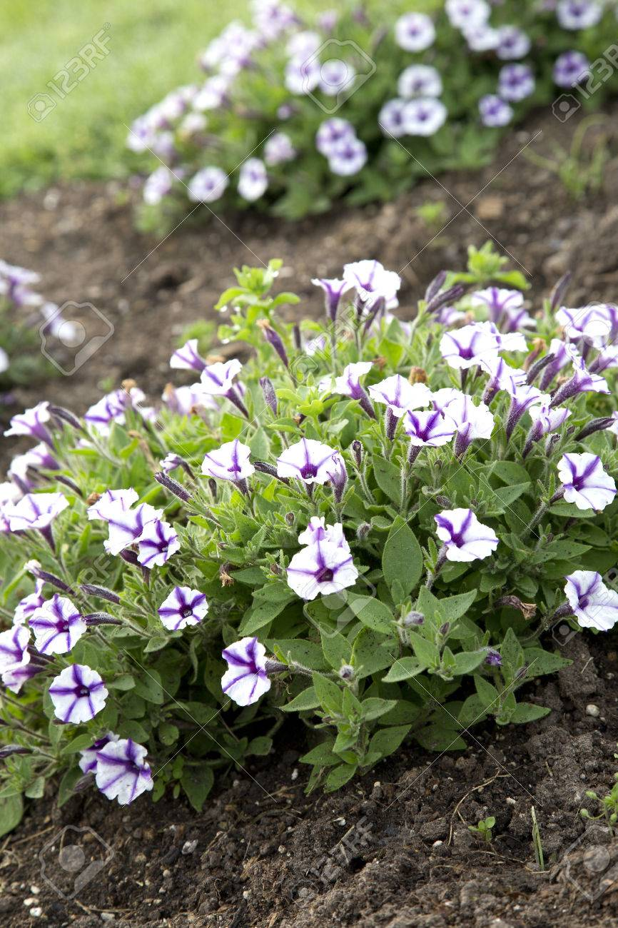 Purple And White Flowers Of Petunia Violet Star Charm Stock Photo