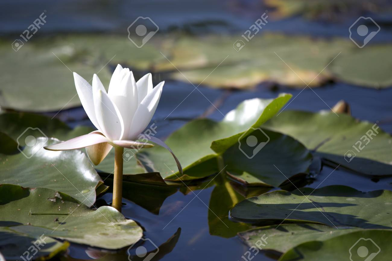 White Waterlily Flower With Lily Pads On Pond Stock Photo Picture