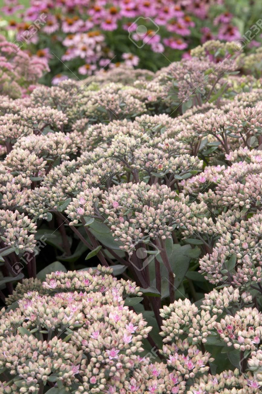Macro Of Pink Flowered Plant Sedum Maestro Stock Photo Picture