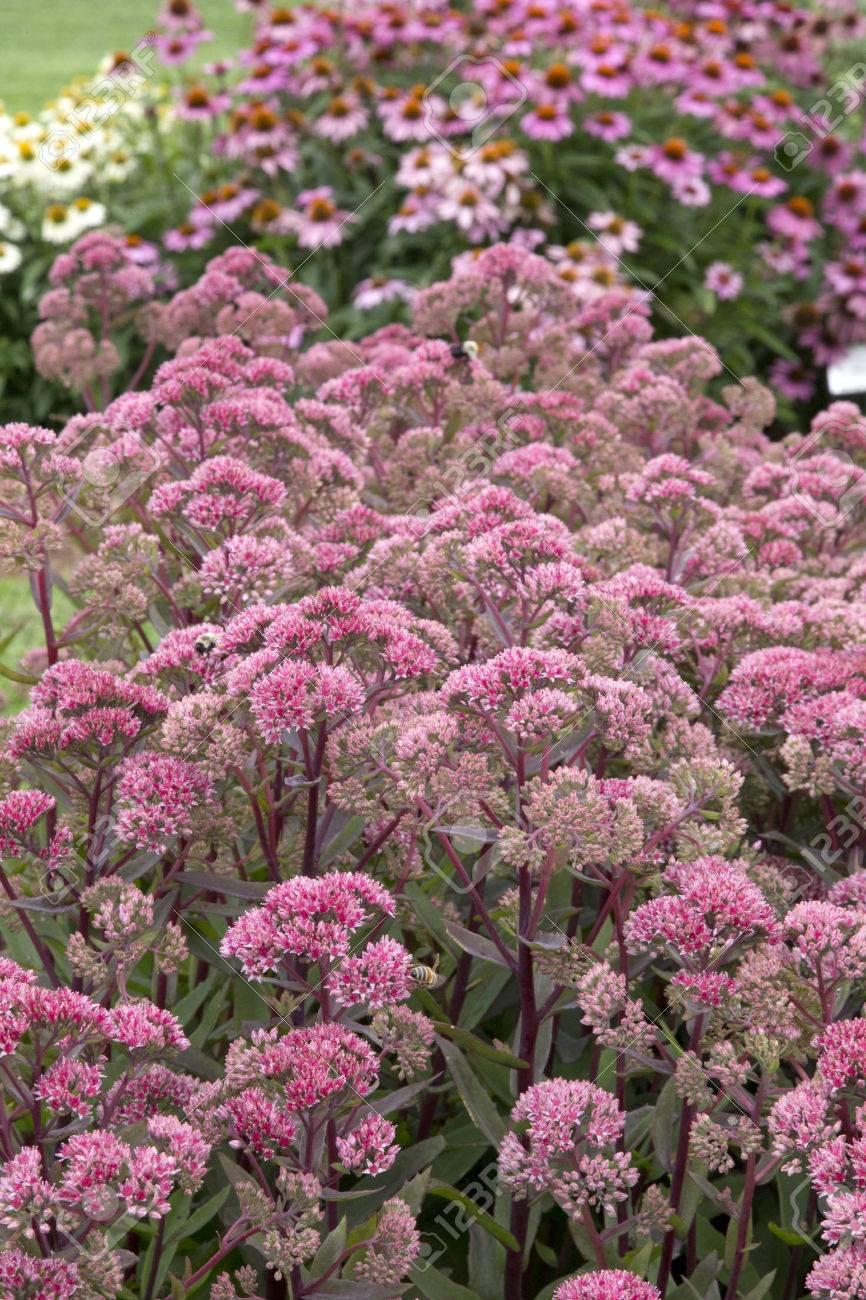 Pink Flowered Plant Of Sedum Garnet Brocade Stock Photo Picture