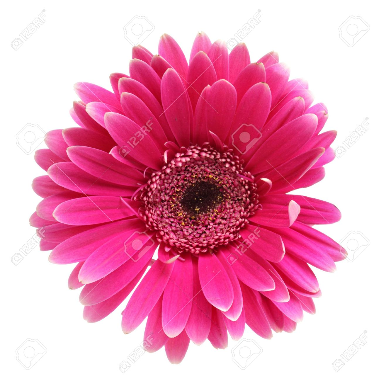 Pink daisy flower isolated over white background stock photo pink daisy flower isolated over white background stock photo 4617711 mightylinksfo