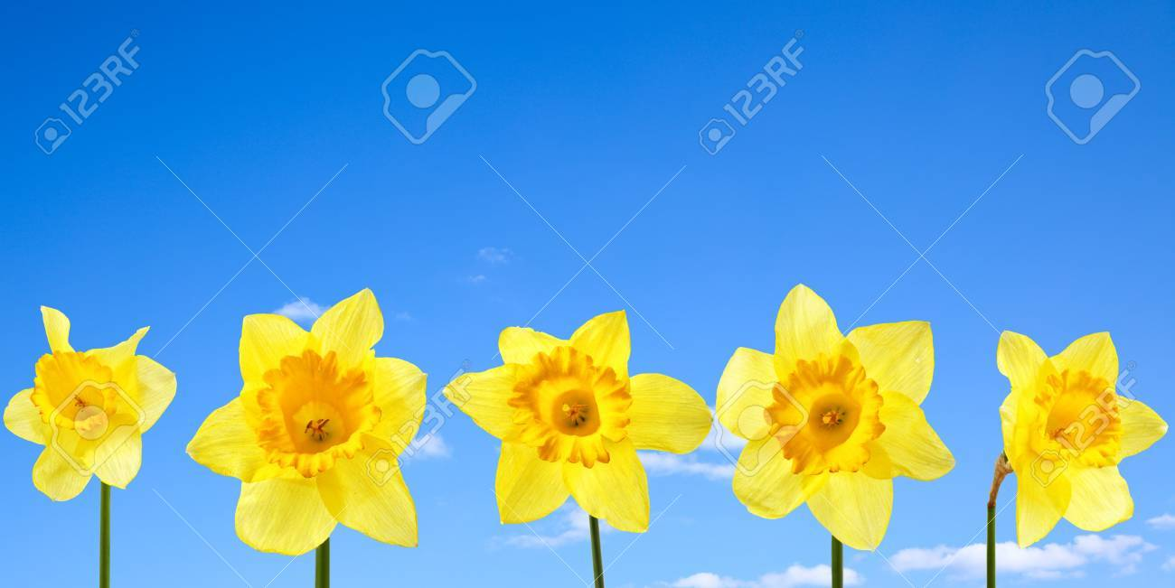 Narcissus close up against blue sky with clouds Stock Photo - 4745526