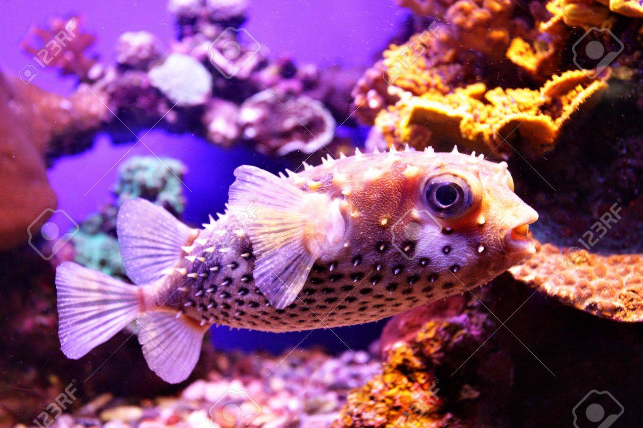 Porcupine fish close-up. Coral colony at Red sea. Stock Photo - 4979775