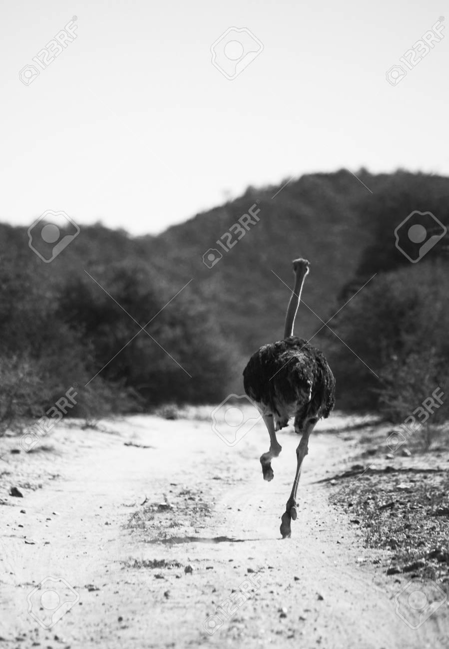 Strauß Läuft Auf Kalahari Lizenzfreie Fotos Bilder Und Stock