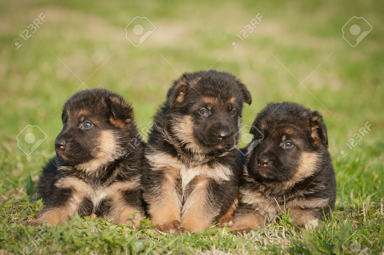 German Shepherd Puppies Stock Photo Picture And Royalty Free Image