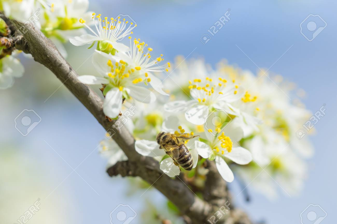 Bee on white plum flower with pollen in springtime close up stock bee on white plum flower with pollen in springtime close up macro of bee on mightylinksfo