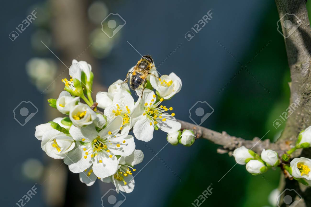 Bee On White Plum Flower With Pollen In Springtime Close Up Stock