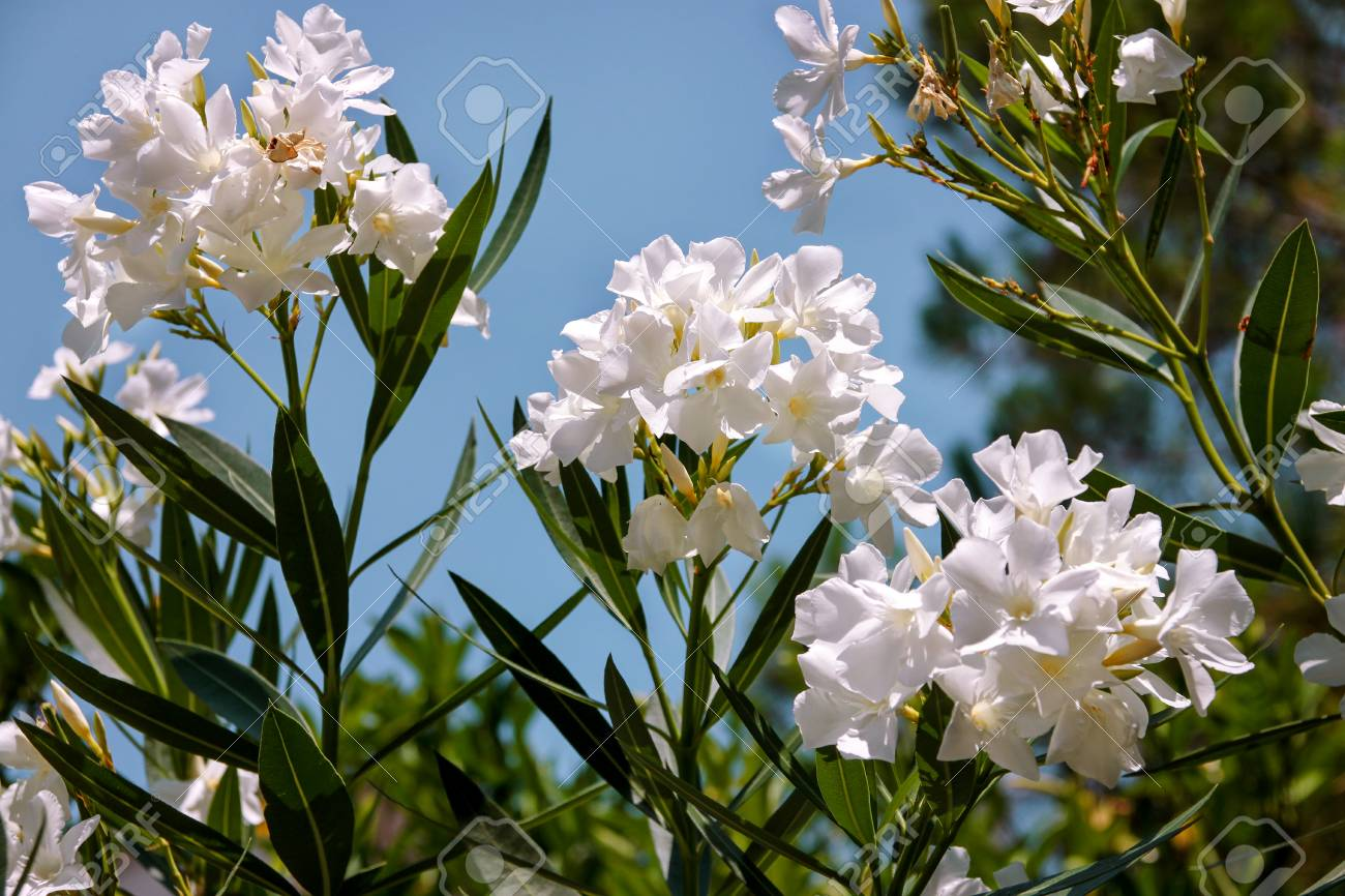 White Oleander Flowers Spring Or Summer Holiday Background Stock