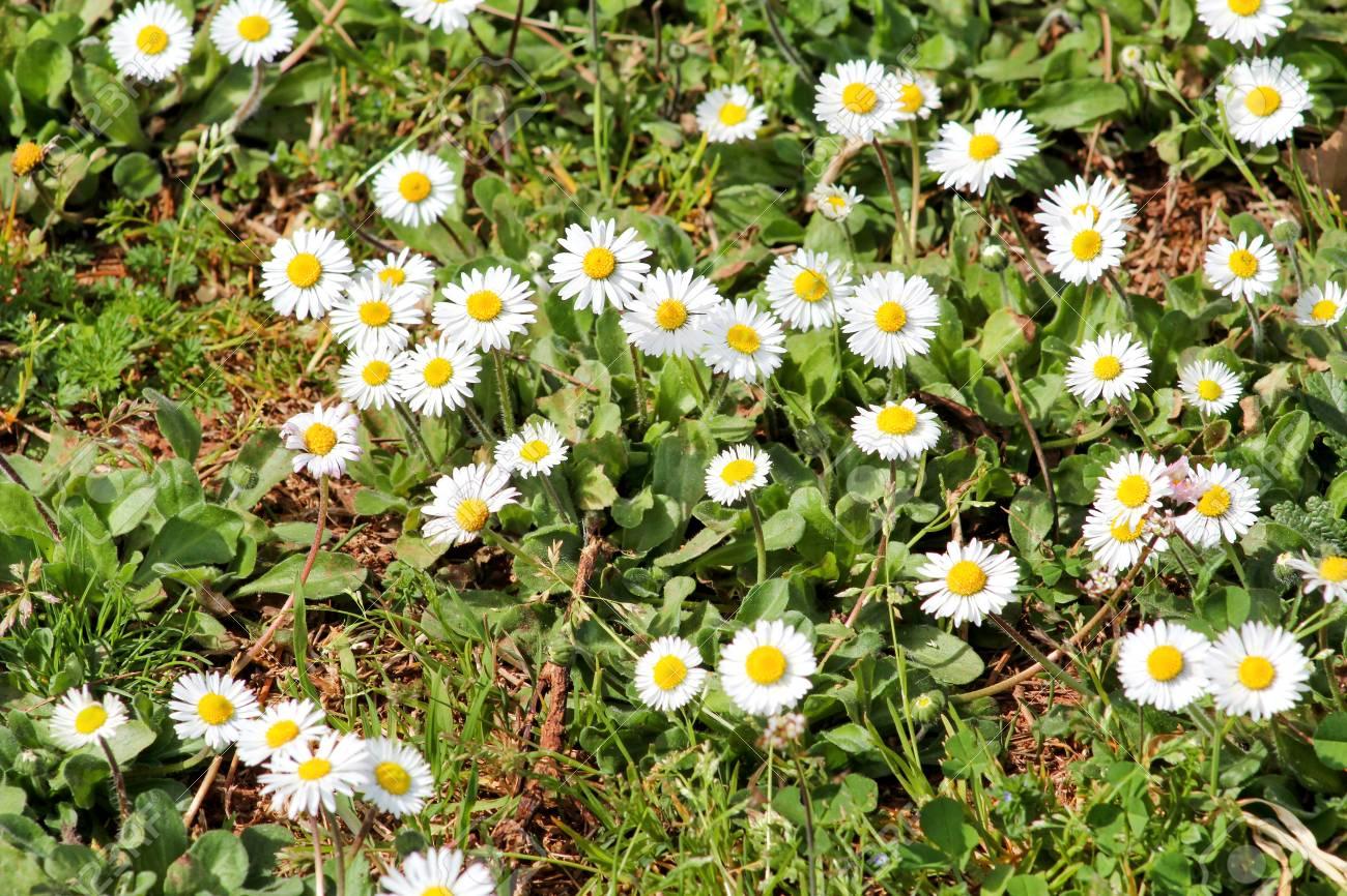 Daisy beautiful white field of daisies flowers in garden spring daisy beautiful white field of daisies flowers in garden spring and summer flowers background izmirmasajfo