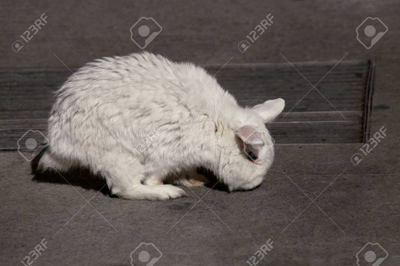 View of european white rabbit stands on sidewalk, pavement in city street and center square, close up. Portrait of decorative bunny with white fur on dark background. Rabbits are tame and cute pets. - 131321249