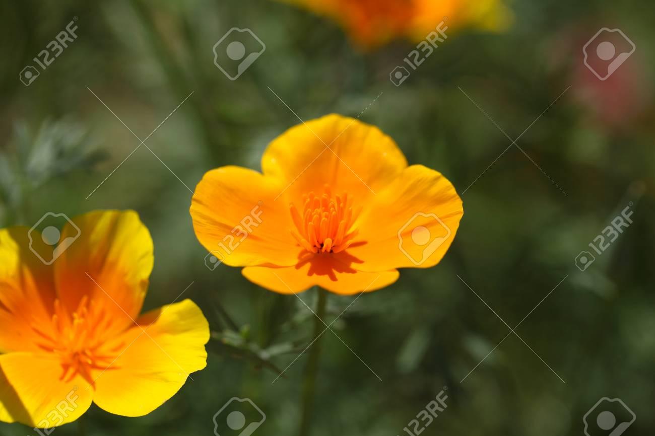 Flowers of the california poppy eschscholzia californica stock flowers of the california poppy eschscholzia californica stock photo 61987974 mightylinksfo