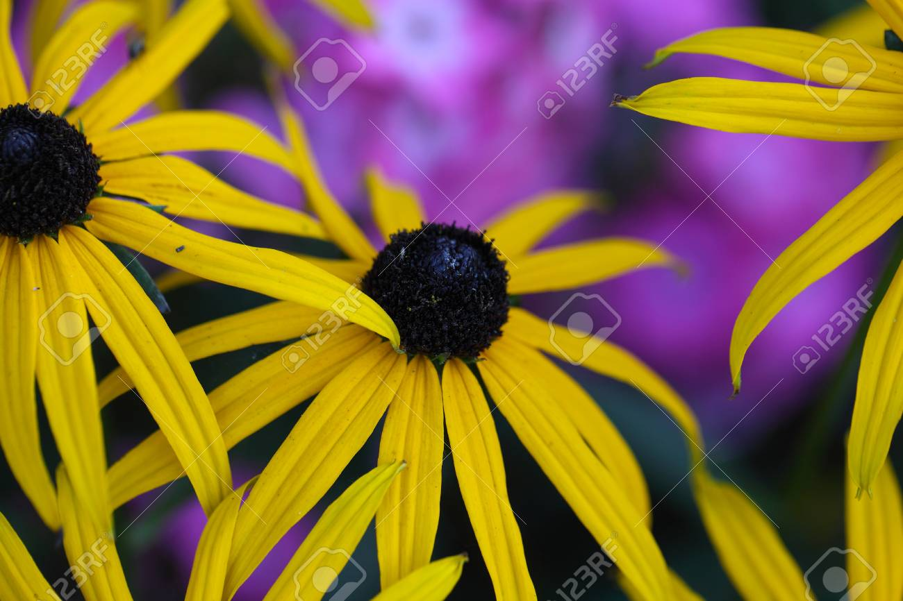 Flower of a perennial coneflower rudbeckia fulgida stock photo flower of a perennial coneflower rudbeckia fulgida stock photo 61988580 mightylinksfo